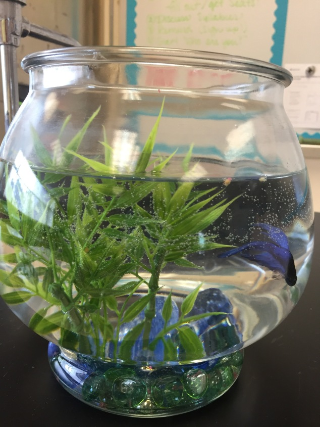My new classroom fish! I had my last one for 5 years. Each year, my students would add onto his name. by the end of his life, he became: T-Pain Frederick Copernicus Chuckles, PhD (they decided he needed a doctorate because he had been in school for so long). My students this year voted for Harambe! I believe he is quite happy in his new home and is spoiled with lots of food and clean water. I hope he lives as long as my last fish!